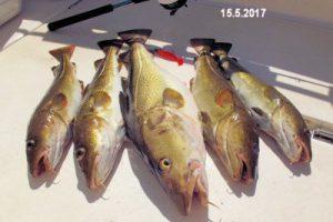 fynshav-angelboot-charter-ostsee-kleiner-belt-meeresangeln- (9)