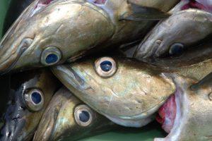 skottevik feriesenter fisch angelreisen norwegen meeresangeln (6)