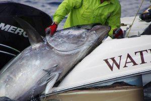 Toller Thunfisch beim Big Game Fishing Spanien ab Valencia